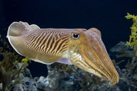 ComCuttlefish9